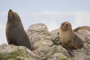 bay-of-islands-fur-seals