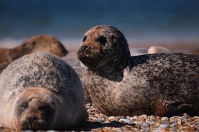 Seals_Blakeney