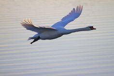 f-ing swan